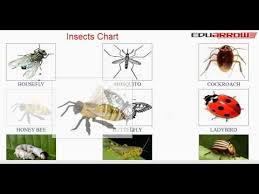 Mosquito Chart Insects Chart