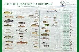 Friends Of Kickapoo Creek Create Fish Poster Prairie