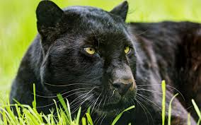 Black Panther Hunting Desktop Background HD 2880x1800 deskbgcom