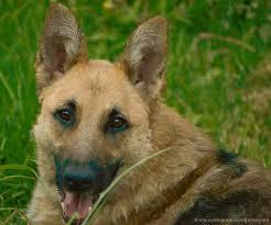 Wolf Vs Dog Size Chart German Shepherd Wikipedia