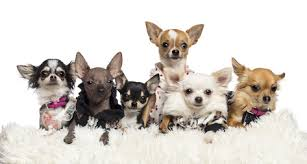 Chihuahua Color Chart 7 Different Types Of Chihuahuas And Theyre All Awesome