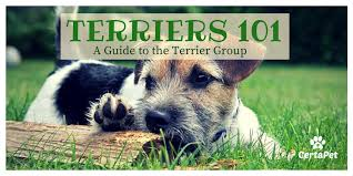 Terriers 101 A Guide To The Terrier Breeds Certapet