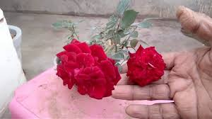 how to grow and care on rose in pot in hindi and urdu bokaro garden