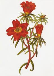 Portulacaceae - Wikipedia, la enciclopedia libre