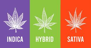 sativa indica hybrid