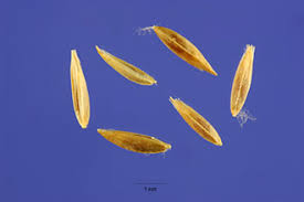 Plants Profile for Poa trivialis (rough bluegrass)