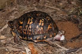 Eastern Box Turtle Chesapeake Bay Program
