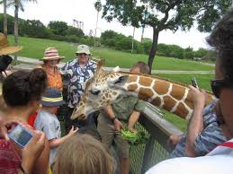 busch gardens serengeti safari. Participants On The Serengeti Safari Tour Feed Lettuce To A Giraffe At Busch Gardens In Tampa R