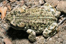 Identifying California Frogs And Toads