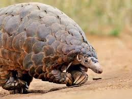 frozen pangolin at a chinese restaurant china s insatiable love for pangolins puts island on alert