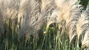 Tall Decorative Grass Easy Landscaping Ideas Ornamental Grass Youtube