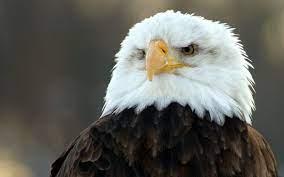66+ Bald Eagle Desktop Wallpaper ...