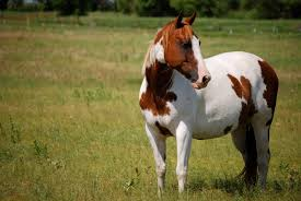 black and white paint horse wallpaper. Delighful Wallpaper Wallpapers For U003e Black And White Paint Horse Wallpaper Throughout A