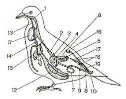 Биология Класс птицы общая характеристика класса Курсовая  Внутренние органы птиц