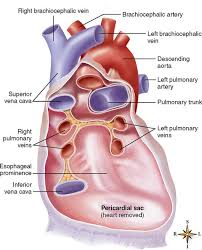 pericardial sac anatomy of the cardiovascular system basicmedical key