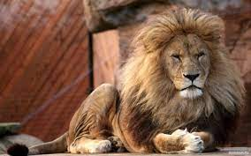 big lion with , photo lions, Lions