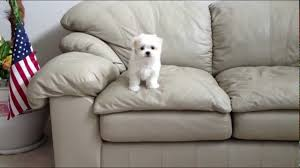 maltese puppy s first jump off a couch