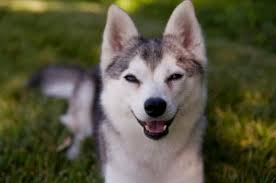 alaskan klee kai size if youre a husky fan then youll love the alaskan klee kai all