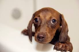 dogs bath water temp. dog bathing tips - how to give a bath dogs water temp