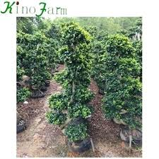 natural plant outdoor ficus tree for leaves turning yellow
