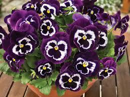 Stiefmütterchen Bringen Euch Den Frühling Auf Balkon Und