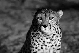 Enjoy and share your favorite beautiful hd wallpapers and background images. Black Cheetah Wallpapers Wallpaper Cave