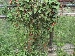 19 Best Climbing Plants For Pergolas And Trellises  Hydrangea Climbing Plants Texas