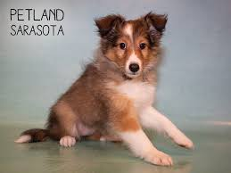 shetland sheepdog puppies who found loving homes