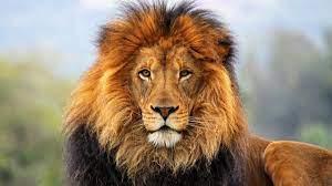 Lion 1080p Wallpaper on WallpaperSafari