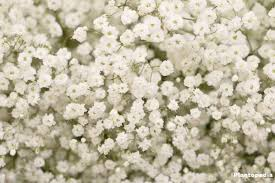 besides roses gypsophila due to its graceful appearance is one of the most charismatic plants not only does this plant decorate every bouquet in its