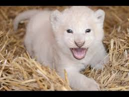 newborn white lion cubs. Interesting Newborn Cute White Lion Cub Inside Newborn Cubs YouTube