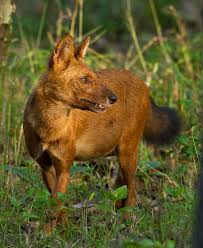 Small Picture Dhole Wikipedia