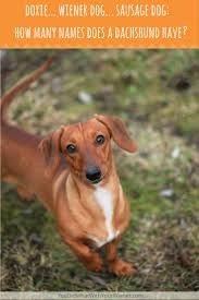 dachshunds are also called sausage dogs wiener dogs and doxies