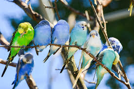 Budgie Colour Types Varieties And Types Budgie Guide