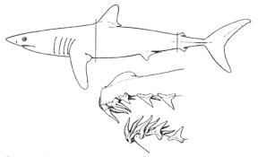 mako shark drawing. Unique Mako Sharpnosed Mackerel Shark Or Mako Isurus Oxyrinchus With Shark Drawing