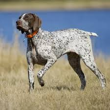 german shorthaired pointer puppies for