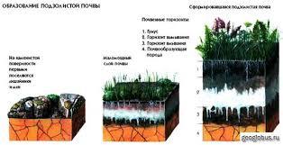 Реферат по дисциплине География на тему Удивительное творение  Так мы определили что почва нашего опытного участка подзолистая характерна для смешанных лесов Выяснили что подзолистые почвы типичны для нашего