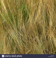 dry grass field background. Close-up Of Lying Long Dry Grass And Small Field Flowers. Grassy Background 3