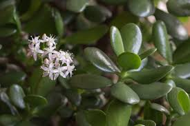 jade in the garden can you grow jade outdoors