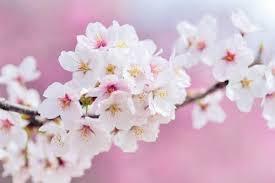 Bunga Sakura 5 Manfaat Bunga Sakura Untuk Kecantikan Seperti Wanita Jepang