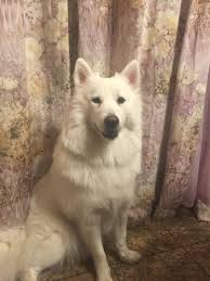 My Samoyed Is 10 Months Old And Weights 40 Pounds She Looks