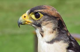 Image result for falcons birds