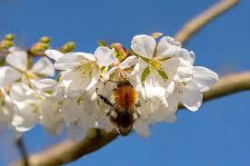 Alberi ad albero fiore fiori piante piante ornamentali italia. Ciliegio Un Albero Facile Da Curare Dai Frutti Dolcissimi E Fiori Meravigliosi