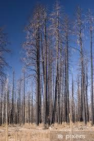 birch trees forest fire vinyl wall mural america
