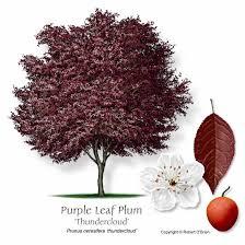 Dwarf Santa Rosa Plum Tree  Pruning Plum Plants Purple Fruits Plum Fruit Tree Varieties