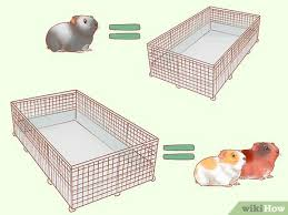 how to care for guinea pigs with