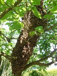 Colméia Abelhas Árvore - Foto gratuita no Pixabay