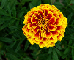 1 marigold