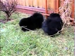 black pomeranian teddy bear cut. Exellent Bear Tiny Teddy Bear Black Pomeranian Male Inside Cut E