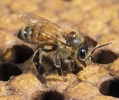 Varroa Mites Bee Aware